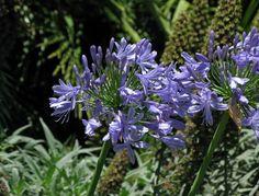 Flores de lirios