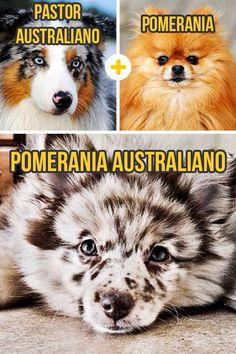 cruza de pomerania con pastor australiano