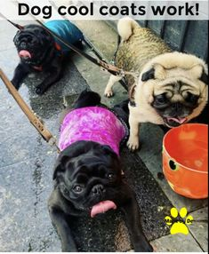 Dogs like these need extra help staying cool. You can help by getting them a cool coat so that they can enjoy the summer. Small Dog Coats, Small Dogs, Flat Faced Dogs, Cool Coats, Dog Activities, Happy Animals, Goldendoodle, Little Dogs, Pugs