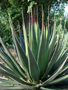 danger garden: The Desert Botanical Garden, Part One. Bald agave