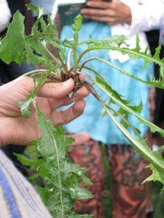 Il dente di leone o tarassaco (Taraxacum officinale):  bitter leaves edible, cooked and dressed.
