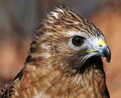 Lakota, the red-shouldered hawk.