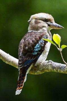 Blue-winged+Kookaburra