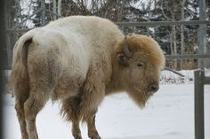 YAY I got to see the white buffalo. This is not an albino buffalo. It is an actual White Buffalo which are very rare. Animals Beautiful, Cute Animals, Wild Animals, Majestic Animals, Unique Animals, Large Animals, Beautiful Creatures, Buffalo Pictures, Bison Pictures
