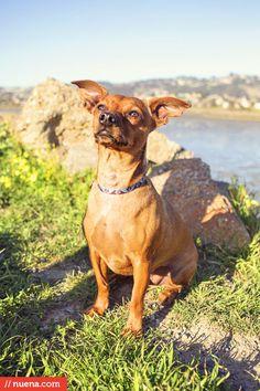 Murf the Chihuahua Dachshund Mix - Point Isabel Dog Park | Nuena Photography #dailydog #dog #chihuahua #dachshund #chihuahuadachshundmix #pointisabel #oakland #petphotography #dogphotography
