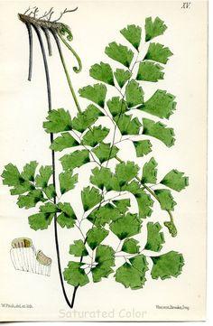vintage fern illustration