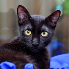 Claudia is a gorgeously shiny kitten looking for a friend!
