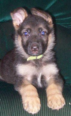 German Shepherd Puppy...soooo cute.