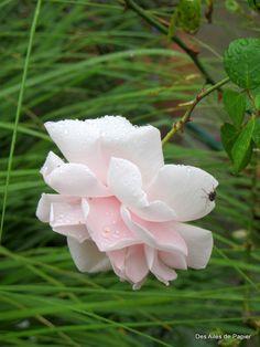 Envie de rose | Sur Des Ailes de Papier