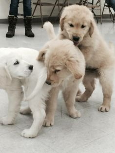 Puppy play time for the LCC K-9 Comfort Dogs in Training class of 2015! #k9comfortdogs #dogs
