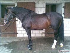 Silesian / Śląski - stallion Bakszysz