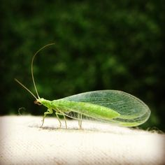 Green lacewing adult = Good Bug. - Evergreen Growers Supply; Australia.
