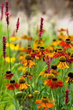 Gardening Autumn - Helenium and Persicaria in Ábaton gardens - With the arrival of rains and falling temperatures autumn is a perfect opportunity to make new plantations Garden Shrubs, Garden Plants, Garden Web, Balcony Garden, Wild Flowers, Beautiful Flowers, Best Perennials, Flower Landscape, Arte Floral