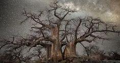 Gli Alberi più Antichi al Mondo fotografati di fronte all'immensità del Cielo Stellato
