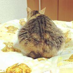 #ねこ #ねこ部 #ねこら部 #ねこもふ団 #ネコ #猫 #三毛猫 #にゃんこ by roroxi