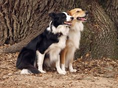 Two beautiful Border Collies at BlissWood Bed and Breakfast Ranch.