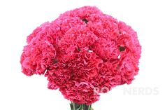 RoseNerds.com Hot Pink Carnations | Wholesale Flowers