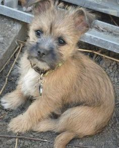 Teddy the Cairn Terrier Mix | Puppies | Daily Puppy Pitbull Terrier, Cairn Terrier Puppies, Terrier Dog Breeds, Terrier Mix Dogs, Wheaten Terrier, Border Terrier Puppy, Boston Terrier, Chihuahua Dogs, Pets