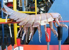 "An awesome photo from NOAA Sanctuaries: ""A team of explorers searching the deep ocean in a submarine surfaced to find they were not alone. A giant isopod (aka horrifying sea creature) had attached to some of the sub's outer equipment! Giant isopods love the muddy, harsh environment of the ocean floor and are usually found from the murky depth of 560 feet to absolute darkness at 7,020 feet."""