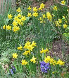 -neuer Gartentraum-#Narzissen