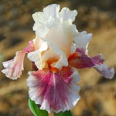 "Tall Bearded Iris ""Heavenly Body""  Rhizome, grows to 38"" BRIGHT & RUFFLEY #TallBeardedIris"