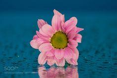 Pink on blue by Berndt_Sjosten. @go4fotos