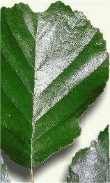 ALISO http://www.plantas-medicinal-farmacognosia.com/productos-naturales/aliso/