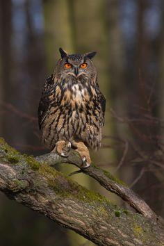 Eurasian eagle-owl by Milan Zygmunt