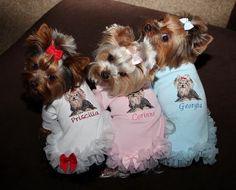3 little Yorkies in a row! ♥