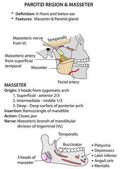 Instant Anatomy - Head and Neck - Areas/Organs - Parotid region - General Anatomy Head, Facial Anatomy, Gross Anatomy, Dental Anatomy, Medical Anatomy, Dental Hygiene Student, Dental Assistant, Medicine Notes, Craniosacral Therapy