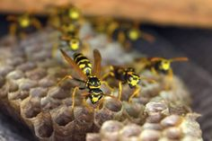 Vespa, Insects, Animals, Wasp, Animais, Animales, Hornet, Animaux, Vespas