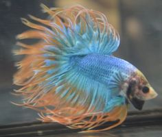 live betta fish- DOUBLERAY CROWNTAIL MALE BUTTERFLY