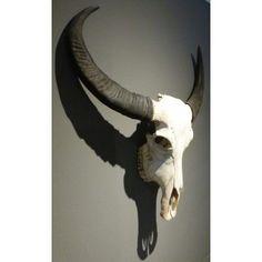 schedels en skeletten te koop waterbuffel