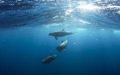 Delfine  kommunizieren gemeinsame Problemlösungen durch eigene Sprache . . . http://www.grenzwissenschaft-aktuell.de/delfine-kommunizieren20160419 . . . Abb.: gemeinfrei