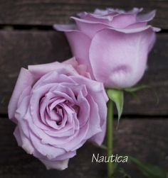 Nautica, a light pink rose by Harvest Rose - http://www.harvestwholesale.com
