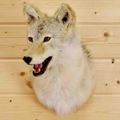 Coyote Head Taxidermy Mount - SW4344