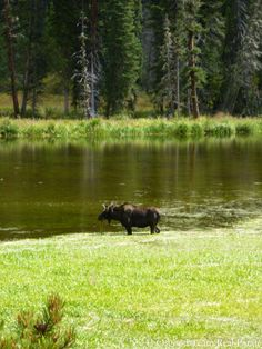 Moose hanging out in the marsh at Winter Park, Colorado.