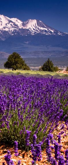 Lavender at Mt. Shasta, Shasta Valley, California, USA | by Brad Iscoo on Flickr