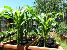 Start To Grow: Top 10 Tips for Growing Sweet Corn