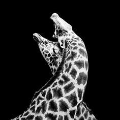 Giraffa - In Love, photography by Nicolas Evariste