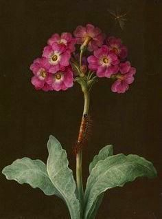 Barbara Regina Dietzsch | Primula with caterpillar on its stalk and dragonfly