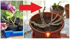 Toto sú rady skúsených pestovateľov, s ktorými muškáty prežijú zimu a na jar budú ešte krajšie! Čo treba vedieť na začiatok – klasická metóda! Pred tým, ako rastliny zazmimujeme, je potrebné znížiť intenzitu zálievky a tiež nepridávať žiadne hnojivo. Rastliny sú počas zimných mesiacov v odpočinkovej fáze, nechceme predsa aby rástli či dokonca kvitli. Na zazimovanie... Planter Pots, Gardening, Lawn And Garden, Horticulture