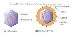 Naked vs enveloped viruses