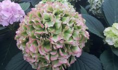 #Hydrangea #Vendetta by grower #DeHoofdweg; available at www.barendsen.nl