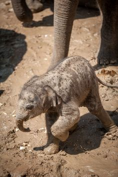 Asian Elephant calf at Antwerpen Planckendael