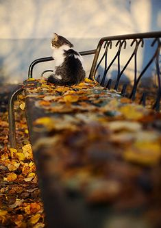 Kitty on leafy bench: two favorite things! Autumn and kitties. Cute Kittens, Cats And Kittens, Crazy Cat Lady, Crazy Cats, Animals And Pets, Cute Animals, Animals Photos, Wild Animals, Gatos Cats