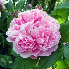 Rosier 'Jacques Cartier', 1868 #rose