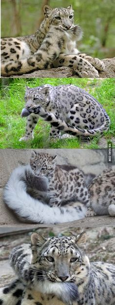 awesome This. This is why Snow Leopards are the best big cats~
