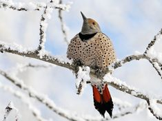 A northern flicker rests on a snowy branch in Alberta, Canada, in this National Geographic Photo of the Day from our Your Shot community.
