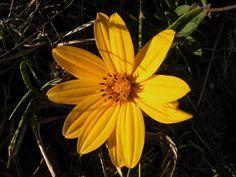 Uruguay's wildlife & Natural sanctuaries - Santuarios naturales & flora y fauna indígena de Uruguay: Bur marigold / Amor seco (Bidens laevis)